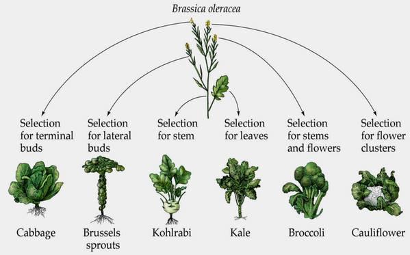 Brassica oleracea -cultivars